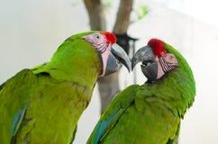 Deux grands perroquets verts d'ara Photos libres de droits