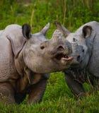 Deux grands rhinocéros un-à cornes sauvages regardant l'un l'autre face à face Photos stock