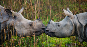 Deux grands rhinocéros un-à cornes sauvages regardant l'un l'autre face à face Photo stock