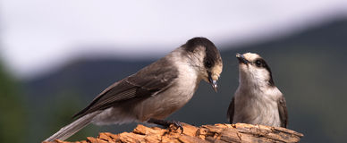 Deux Gray Jay Birds Wildlife Camp Robbers concurrencent pour la nourriture Photos stock