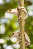 Deux, grenouille d'arbre Photographie stock