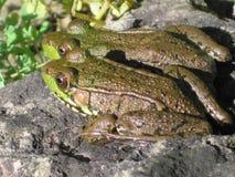 Deux grenouilles image libre de droits
