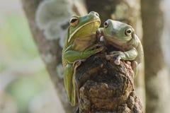 Deux grenouilles photo stock