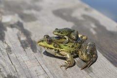 Deux grenouilles Image stock