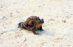 Deux grenouilles brunes Photographie stock