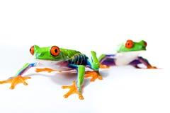 Deux grenouilles d'arbre observées rouges Photos libres de droits