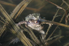 Deux grenouilles dans l'eau images stock