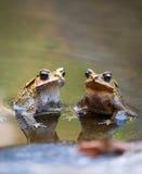 Deux grenouilles dans un étang Images libres de droits
