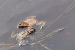 Deux grenouilles dans un étang feuilles de sgrass photo stock