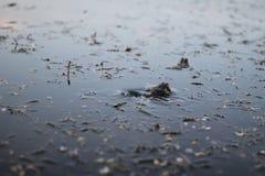 Deux grenouilles pendant la saison d'élevage Images stock