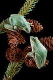 Deux grenouilles sur des cônes de pin Photos libres de droits