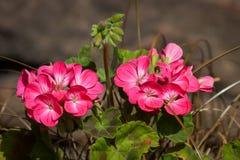 Deux groupes de géraniums roses Images stock