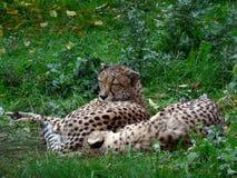 Deux guépards. image libre de droits