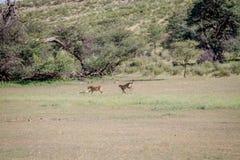 Deux guépards attrapant un springbok image libre de droits