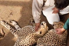Deux guépards avec des personnes Photographie stock libre de droits