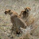 Deux guépards dans une herbe. Photographie stock
