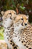 Deux guépards mâles Photographie stock libre de droits