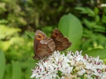 Deux guindineaux sur une fleur Image libre de droits