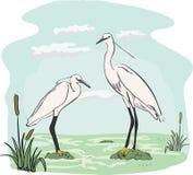 Deux hérons dans le marais Photographie stock