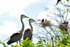 Deux hérons de grand bleu dans le nid dans le marécage Photos libres de droits