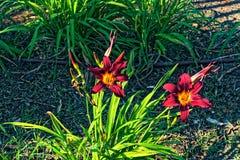 Deux hauts étroits de fleurs rouges au soleil image libre de droits