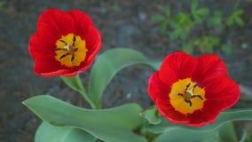 Deux hauts étroits de tulipes rouges clips vidéos