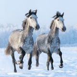 Deux hauts étroits galopants de chevaux espagnols Photo libre de droits