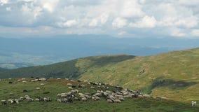 Deux herdmen conduisant un troupeau des moutons en bas des collines vertes Grands nuages blancs sur les montagnes vertes de Carpa banque de vidéos