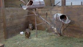 Deux hiboux marchant sur le foin dans la maison en bois banque de vidéos