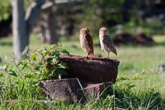 Deux hiboux sur une cheminée d'arbre Photos libres de droits