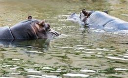 Deux hippopotames dans l'eau Images stock