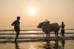 Deux hommes tenant et éclaboussant la vache en mer au coucher du soleil Photos libres de droits