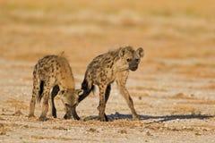 Deux hyènes repérées dans le domaine ouvert Image libre de droits
