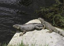 Deux iguanes exposant au soleil sur une roche Images libres de droits