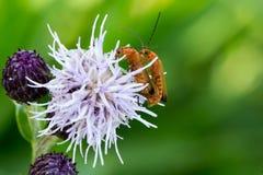 Deux insectes de accouplement Photo libre de droits