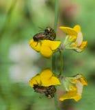 Deux insectes joignant sur des fleurs Image libre de droits