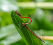 Deux insectes rouges de libellule joignant sur la feuille verte la forme t Photo stock