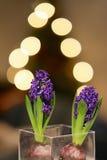 Deux jacinthes avec des lumières d'arbre de Noël Image stock