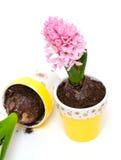 Deux jacinthes roses dans des bacs d'argile colorés Images stock