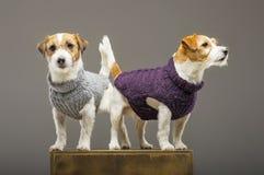 Deux Jack Russell de charme posant dans le studio dans des chandails chauds images libres de droits