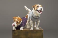 Deux Jack Russell de charme posant dans le studio dans des chandails chauds photo libre de droits