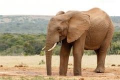 Deux jambes dans l'abreuvoir - éléphant de Bush photographie stock libre de droits