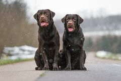 Deux jeune labrador retriever brun mignon poursuit des chiots se reposant ensemble sur le sourire concret de rue Photographie stock