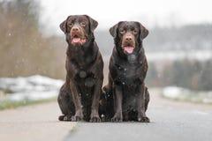 Deux jeune labrador retriever brun mignon poursuit des chiots se reposant ensemble sur le sourire concret de rue Images stock