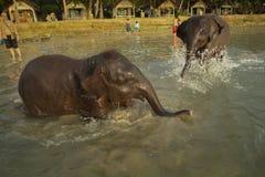 Deux jeunes éléphants d'Asie se baignant dans la lagune image libre de droits