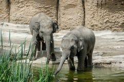 Deux jeunes éléphants dans l'eau photographie stock libre de droits