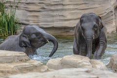 Deux jeunes éléphants jouant dans l'eau Images stock