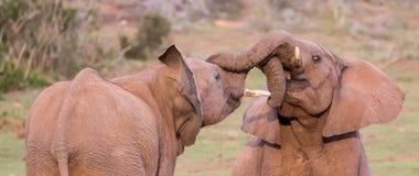 Deux jeunes amis d'éléphants saluant Photographie stock libre de droits