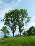 Deux jeunes arbres Photographie stock