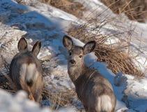 Deux jeunes cerfs communs de mule Images libres de droits